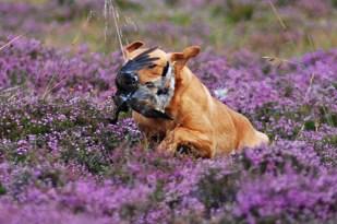 inverness_gun_dog_gallery_17