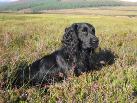inverness_gun_dog_gallery_21
