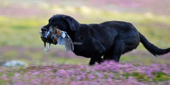 inverness_gun_dog_gallery_8